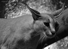 P1040518 (LaBonVampire) Tags: caracal animals nature leica leicalenses lumix