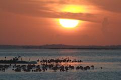 Amanecer en El Cuyo, Yucatn 071126_07 (coyotecorrea) Tags: flamencos flamingo phoenicopterusruber americanflamingo aves reservadelabisferaralagartos wetlands humedal birds waterbirds sunrise amanecer canoneos landscape