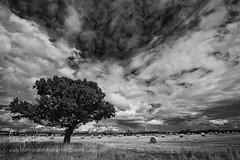 Tree & Clouds... (barbara.jackson55) Tags: fields haybales summer trees monotone blackandwhite blackandwhitelandscape tree wideangle sky clouds