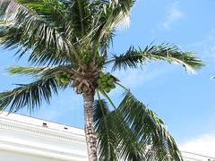 Coconut Tree (Terry Hassan) Tags: usa florida palmbeach palm flaglermuseum coconut tree garden