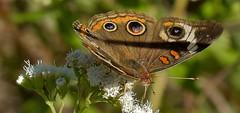 Common Buckeye (thefisch1) Tags: butterfly moth eye feeding kansas flint hills prairie migrating proboscus nikon nikkon interesting antenna leaf plant wing oogle