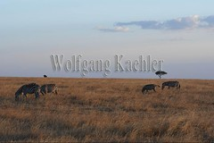 10078031 (wolfgangkaehler) Tags: 2016africa african eastafrica eastafrican kenya kenyan masaimara masaimarakenya masaimaranationalreserve wildlife zebras plainszebrasequusquagga burchellszebra burchellszebraequusquagga burchellszebras grassland grasslands