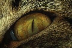 My Friend's Eye (Scott Jamison) Tags: cat eye green macro closeup kitty manual vintagelens animal pet joey