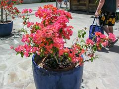 Bora Bora, French Polynesia (gttexas) Tags: 2009 borabora bougainvillea cruise frenchpolynesia starprincess flower