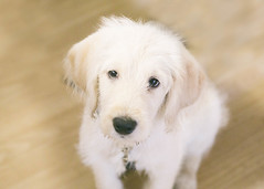 Frodo: Future Service Dog (Little Earthling Photography) Tags: dog servicedog labradoodle