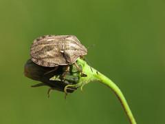 Tortoise Shieldbug (Eurygaster testudinaria) (Julian Hodgson) Tags: tortoiseshieldbug eurygastertestudinaria hemiptera heteroptera scutelleridae shieldbug holmefen nationalnaturereserve cambridgeshire canonpowershotsx50hs raynoxdcr150