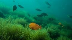 PA070638.jpg (Michael Bartosek) Tags: olympusepl3 catalinaisland olympus1442mm underwater catalina diving california pacificocean