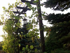Garten 2016 (marosha08) Tags: garten herbst weintrauben