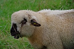 1329-13L (Lozarithm) Tags: marlborough sheep coopersmeadow k1 55300 hdpda55300mmf458edwr pentax zoom