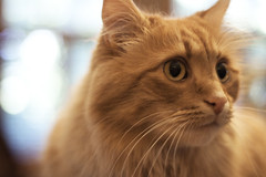 Clem Thursday: Sideways Boy (Photo Amy) Tags: adorable aminal canon50d cat cuddly cute cuteness ef50mm18 eartufts feline fluffy fur furry ginger kitten longhair longhaired orange pet precious red tabby toefur whisker whiskers