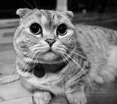 Cartoon Cat (K Koval) Tags: cat munchkin scottish fold black white cute eyes kilt whiskers
