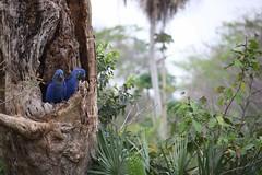 EOS54147 (uh1977) Tags: hyacinth macaw bra brazil