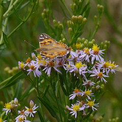Sea Aster nectar plant (jump for joy2010) Tags: uk england somerset stretcholt pawlett riverparrett september 2016 nature wildlife wildflower seaaster insects butterflies paintedlady vanessacardui migrant