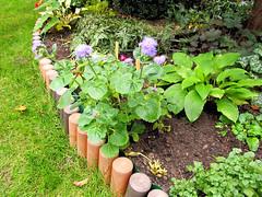 Flowers (PL) - eniszek (transport131) Tags: kwiat flower ogrd garden eniszek ageratum