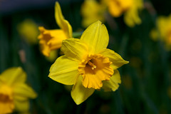 Daffodil (Jos Miguel Atienza) Tags: narciso narcisotrompeta daffodil narcissustrompetahybridus flores flowers fleurs blumen fiori  color primavera spring printemps frhling  amarillo yellow jaune gelb giallo  verde green vert  espaa spain espagne spanien spagna       canoneos5dmarkii canon 5dmarkii canon5dmarkii canon5dii atienzamatillajosmiguel josmiguelatienzamatilla josemiguelatienzamatilla josmiguelatienza atienzamatilla josemiguelatienza