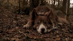 Autumn girl (A child in the night) Tags: bordercollie red sister alert fall autumn kira sheepdog woods cheshire theedge walk eyes hyper stare