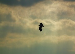 Lapwing in flight (wakeuplittlesuzy) Tags: blue sky flight lapwing tockholes