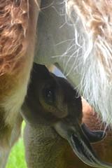 feeding (sfPhotocraft) Tags: baby southamerica milk llama nurse feed machupicchu nursing babyllama 2013