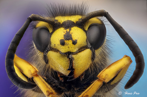 Wasp / Vespula Germanica