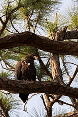 Young eagle ventures out of the nest (EricWBrown) Tags: bird nature birds eagle florida wildlife baldeagle fl ericbrown merrittisland