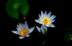 2 and half stars (BigMs.Take) Tags: flowers blue green nature yellow gardens nikon waterlilies bangladesh d300 artpix starofsiam floatingplants excellent flickrfriends followmemyfriends