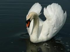 Swan (FPJ Photo) Tags: bird swan zwaan