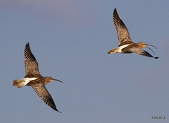 Curlew: Moreton Fields (Peter J. Ham) Tags: birds flight wetlands waders wirral curlew shorebirds peterham