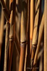 Getrocknete Grser im Frhling 2 -  Dry grass in the spring 2 (MaiGoede) Tags: plants macro nature germany deutschland lights licht flora nikon europa europe natur pflanzen structures natura matthias luci makro germania lichter niedersachsen strukturen naturfoto butjadingen fedderwardersiel d7000 nikond7000 cmatthiasihriggoede ihriggoede impressionenvomfrhling