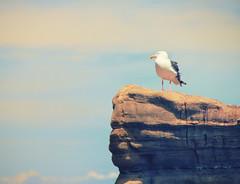 Lone Seagull at La Jolla Cove, California (` Toshio ') Tags: ocean california bird beach nature rock pacific sandiego seagull beak feather lajolla toshio