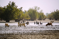 (CIFOR) Tags: trees lake cows wither climatechange adaptation burkinafaso cifor forestresearch productionforests villageofyalka