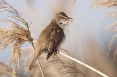 Great Reed Warbler (Dave @ Catchlight Images) Tags: bird reed nature island wildlife great greece warbler limnos avianexcellence
