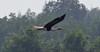 Th13_05252a (jerryoldenettel) Tags: bird thailand stork paintedstork ciconiiformes mycterialeucocephala mycteria 2013 ciconiidae bangtaboon bangtaboonmarshes