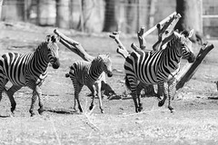 Zebra Family Running (Eric Kilby) Tags: park family bw boston zoo franklin parents blackwhite child stripes running zebra