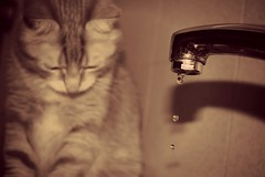 drop. (Perez.S) Tags: original water kitchen animal sepia cat canon photography eos photo beige agua drop cocina gato gota fotografia tap grifo animaldomstico 1100d canoneos1100d