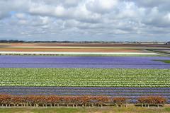 Keukenhof (mana.ainava) Tags: flowers blue white green netherlands spring colours tulipa hyacinthus
