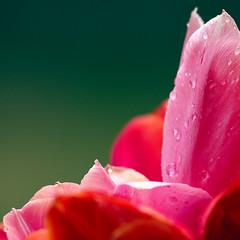 2013 Tulips (hz536n/George Thomas) Tags: flower oklahoma canon spring flora lab bokeh tulip april 5d canon5d stillwater smrgsbord labcolor cs5 ef300mmf4lisusm wonderfulworldofflowers