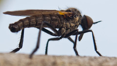 Little musquito (Jan de Graaf) Tags: macro nature closeup other nikon natuur highcontrast insects mosquito mug manualfocus 1870mm infocus 1870 extensiontube highquality nikkor1870 d5000 nikond5000 jandegraaf jdegraaf