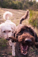 aww yisss! () Tags: dog dogs bush labrador afternoon sunny australia poodle tasmania stick hobart labradoodle fetch