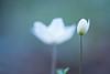Growing up (Monique vd Hoeven) Tags: macro spring belgie ardennen bloemen voorjaar thierache bosanemoon macrodreams nikor105mmm regniessart