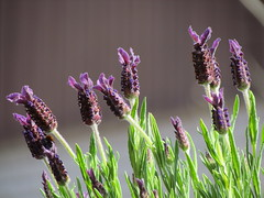 Lavendel (Lynsnowsun) Tags: flower green nature beautiful grass weather spring nice sweden many small halmstad halland