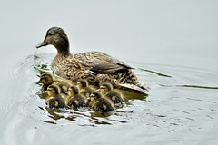 Out with Mom (Maggggie) Tags: mallards ducks chicks water lakepeachtree explored