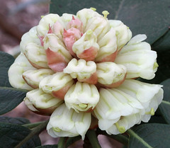 Yellow Rhododendron (Graham Dash) Tags: macro windsorgreatpark virginiawater tamron90mm28macro