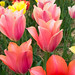 Burnside Tulip Farm 2013-7010.jpg