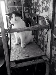 Builder Stan inspects progress (sarahjanequinn) Tags: blackandwhite cat stan renovation iphone