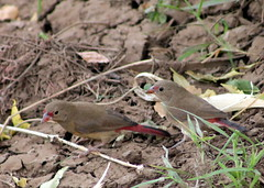Red-billed Firefinch (freshdead) Tags: moon photography cinematography