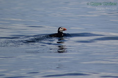 Fratercula arctica ([LiaLua] [DGNeves]) Tags: portugal wildlife cape algarve cruiser seabird seabirds sagres selvagem atlanticpuffin avesmarinhas papagaiodomar avemarinha