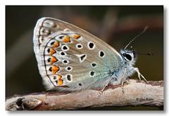 Polyommatus bellargus (PITUSA 2) Tags: canon lepidoptera galicia mariposa pitusa animalia arthropoda ourense rubi bolboreta insecta lycaenidae polyommatus espa polyommatusbellargus serradaenciadalastra polyommatini elsabusto