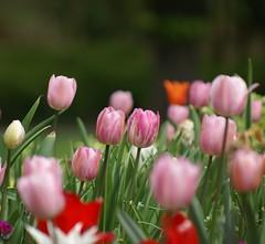 Tulipes (p.franche malade - Sick) Tags: brussels flower fleur europe belgium belgique sony bruxelles brussel schaarbeek schaerbeek tulipe belgïe parcjosaphat josaphatpark pascalfranche pfranche