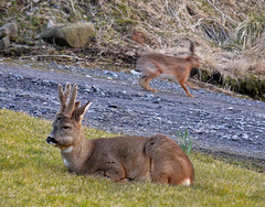wheech! (glenfinlas) Tags: scotland hare deer islay surprise frommywindow roedeer capreoluscapreolus brownhare lepuseuropaeus