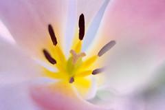 Tulip (emperor1959 www.derekbeattieimages.com) Tags: flowers macro stamen tulip pollen flowermacro pastelcolours